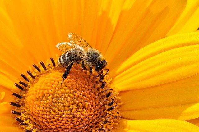 image abeille pollenisation