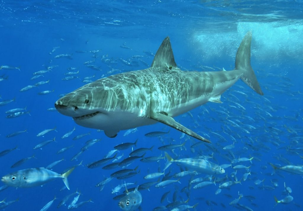 grand-requin-blanc